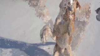 Закрытие сезона охоты 0016-2017 не без; русской гончей Боба нате зайца.