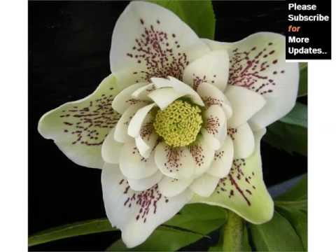 White Hellebores   White Flower Images And Ideas Collection - Phula Pics