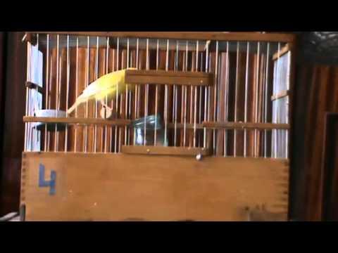 видео: Пение кенара 4 (релакс)
