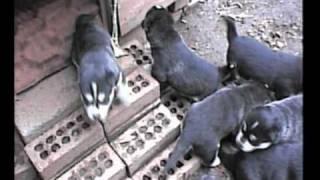 Siberian Husky Puppies - 2nd Litter