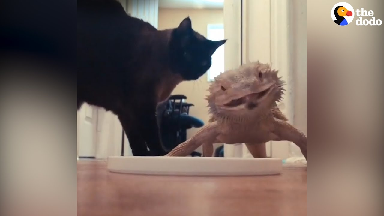 Cat And Lizard Are Best Friends The Dodo Youtube