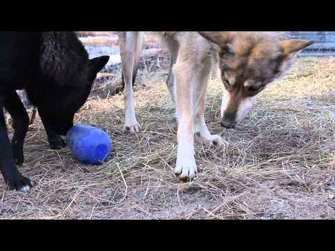 Wolfdogs Rana and Tara playing with Nina Ottosson Dog Pyramid