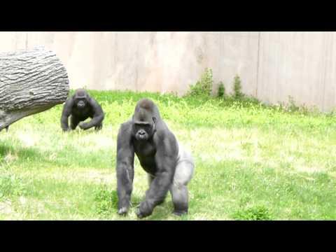 The Gorillas Exhibit In Philadelphia Zoo 2011 #2