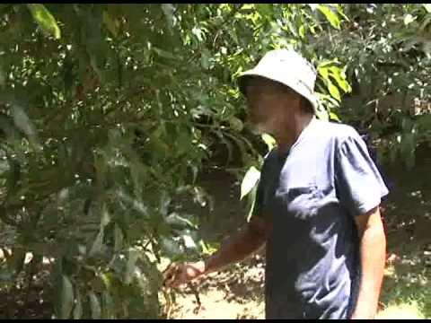 Meet Guam's Mango Man