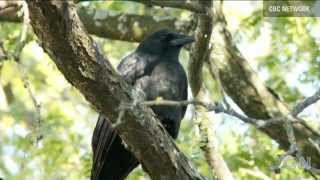 Walter the Crow