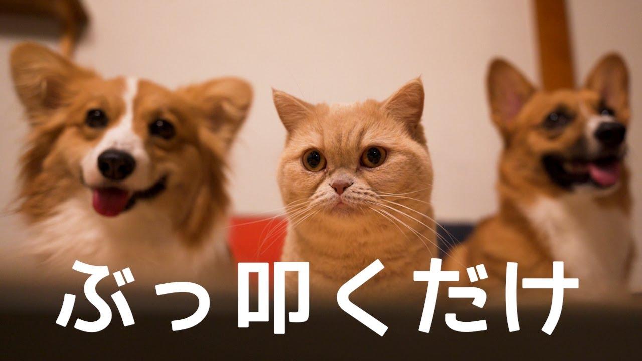 材料一つ!ぶっ叩いて作る犬と猫のおやつ【コーギー】【マンチカン】