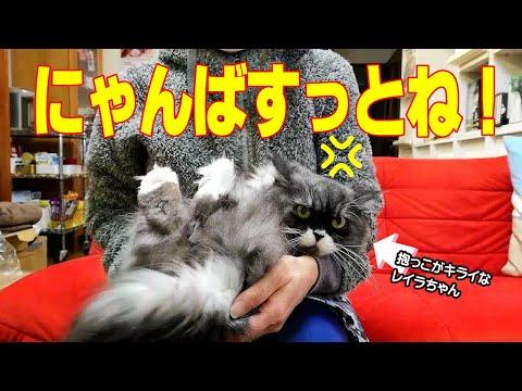 ラガマフィン猫レイラを抱っこしたら怒られました Ragamuffin cat LAYLA vs. hugs