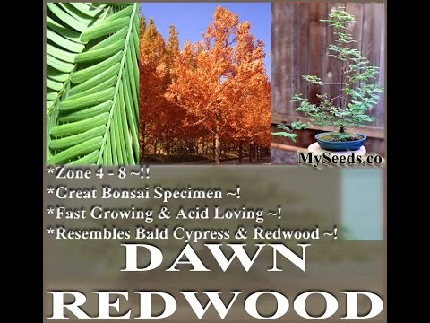 Dawn Redwood Tree Seeds, Metasequoia glyptostroboides Seeds  on  www.MySeeds.Co