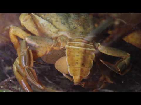 sacculina paraziták