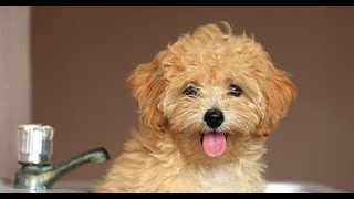 Maltipoo  Comprehensive Dog Review with Compilation