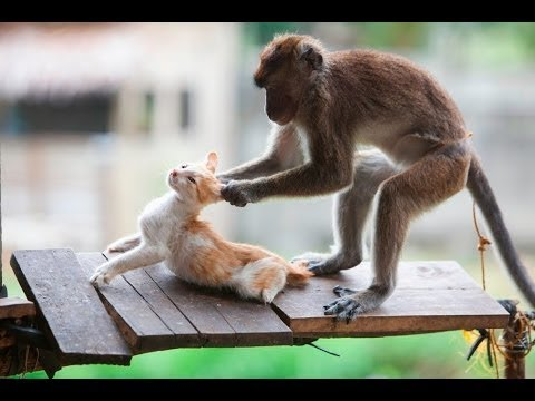 TRY NOT TO LAUGH or GRIN: Funny Monkeys VS Dogs and Cats Compilation 2017