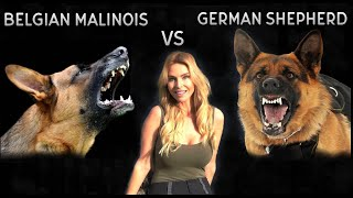 BELGIAN MALINOIS VS GERMAN SHEPHERD DOG  WHO IS KING?