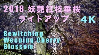2018 妖艶な成瀬の紅枝垂桜ライトアップ(4K) Bewitching Red Weeping Cherry Blossom Light Up(UHD) thumbnail