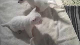 Cats Meow Dogs Bark Rescue ~ Westie Puppies