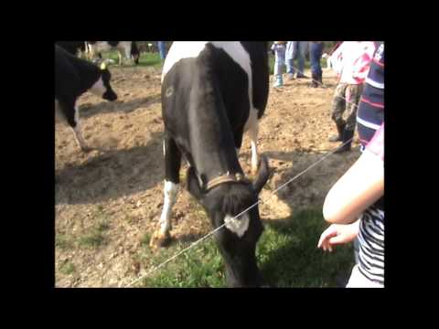 Koeiendans in Lievelde Dancing cows 2014 29 3
