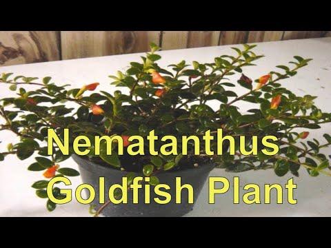 Nematanthus Goldfish Plant- Goldfish Plant Cuttings