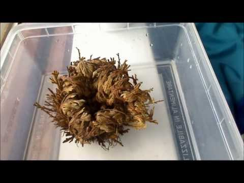 timelapse of a desert plant selaginella lepidophylla doovi. Black Bedroom Furniture Sets. Home Design Ideas