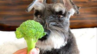 Dog Eating Broccoli ASMR  Mini Schnauzer Dudy