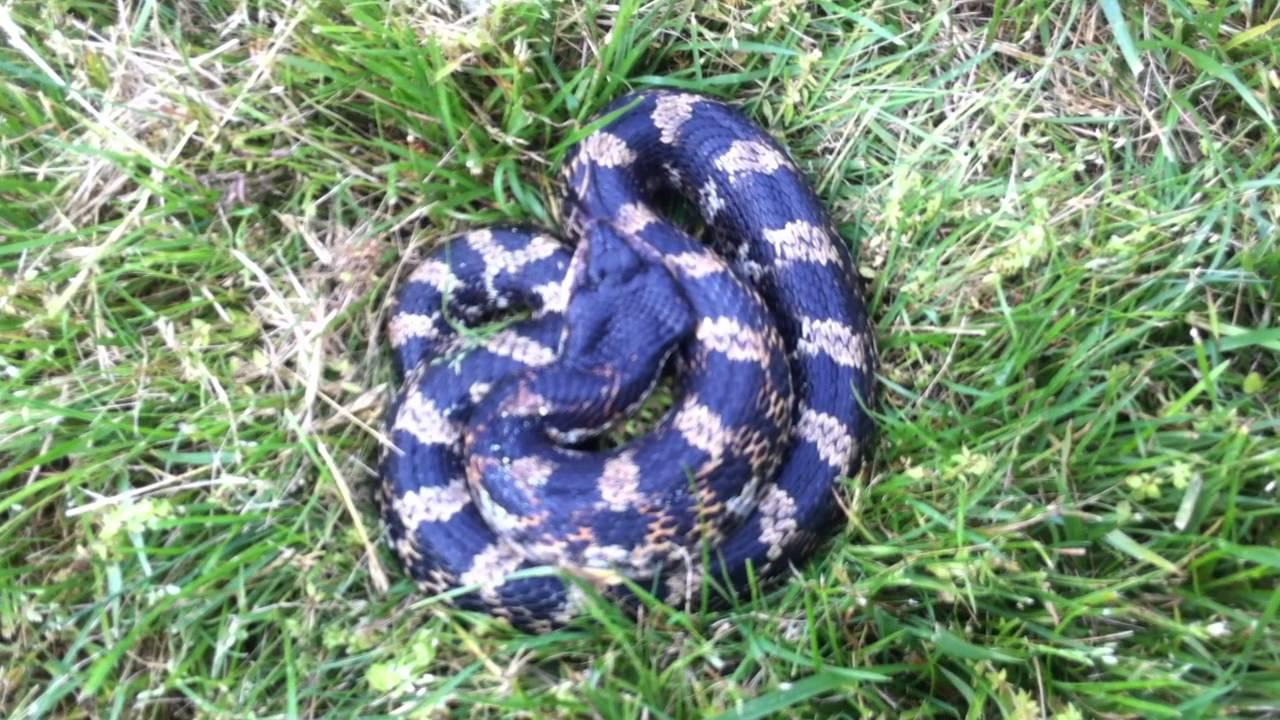Eastern Hognose snake - YouTube