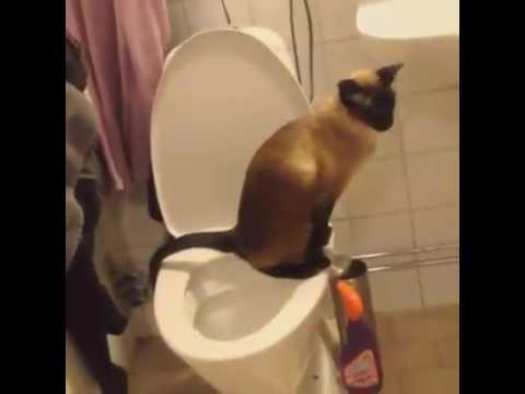 Siamese sid cat