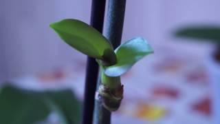 видео Размножение орхидей в домашних условиях