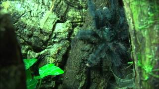 Avicularia metallica - molted & feeding
