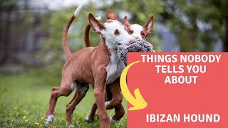 Dogs: Ibizan Hound Dog Breed Information And Personality