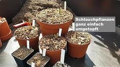 #41 Sarracenia umtopfen und vermehren, so einfach wirds gemacht