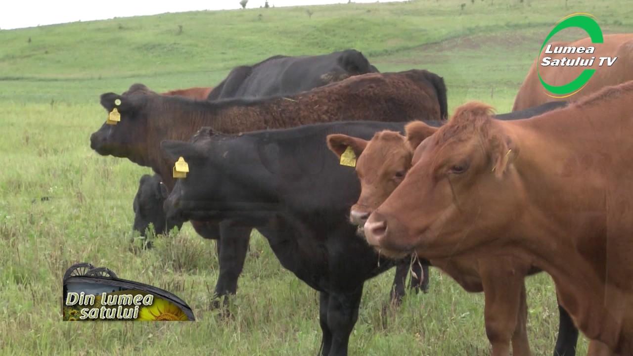 tratamentul bovinelor cu fascioliaza