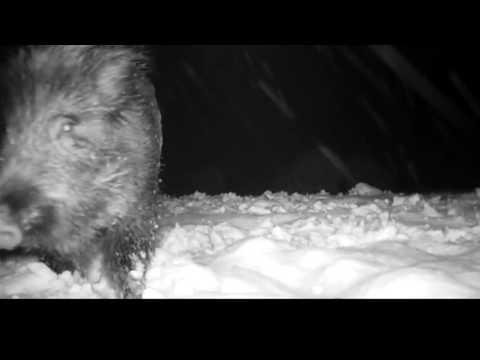 Dziki w stołówce/Cantina for boars