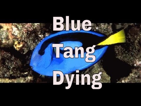 Blue Tang Is Breathing Fast, Hiding And Not Eating, Laying On Her Side.