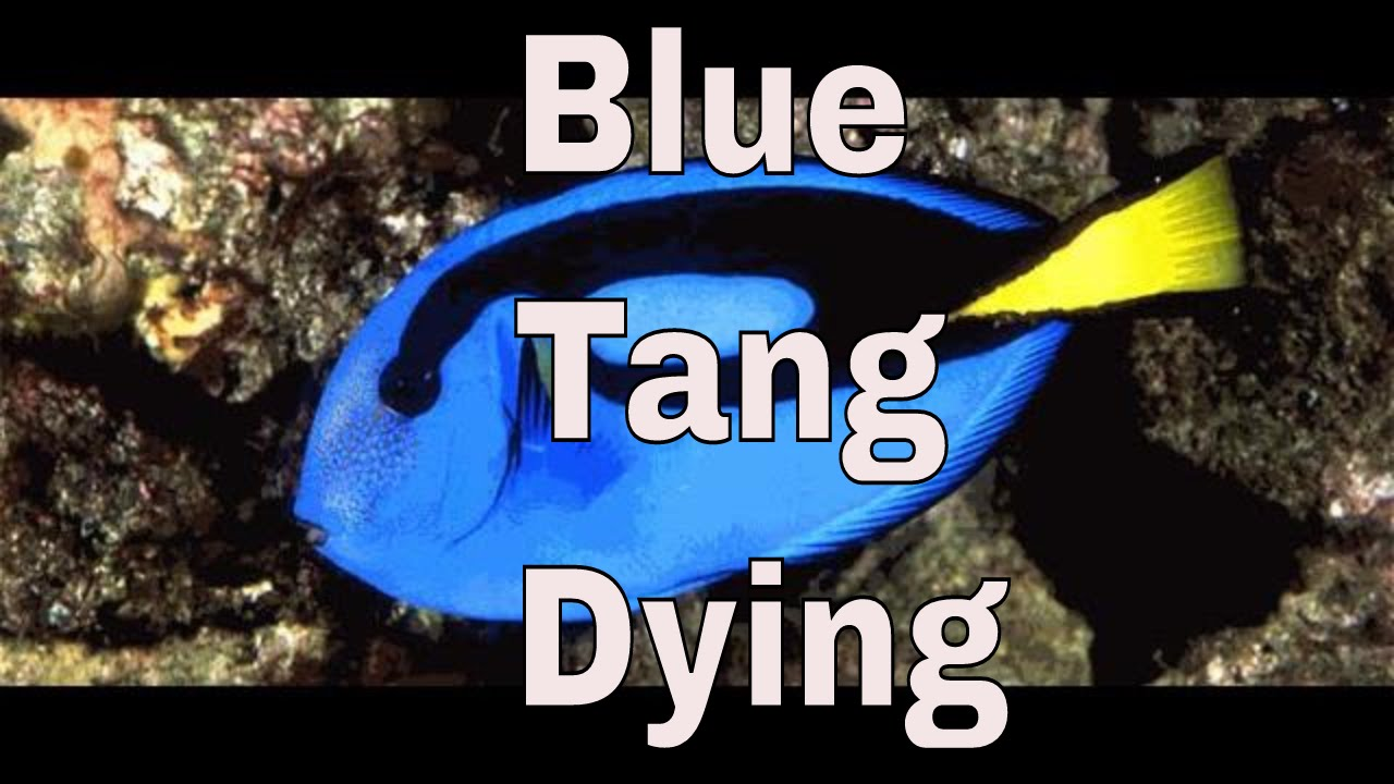 blue tang is breathing fast, hiding and not eating, laying on her side
