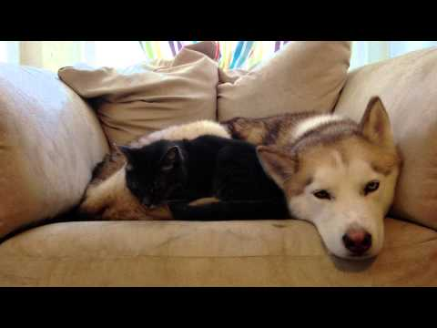Thumbnail for Cat Video Sleepy Husky = Warm Bed For A Cat