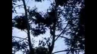 berburu ayam hutan hijau di Magelang