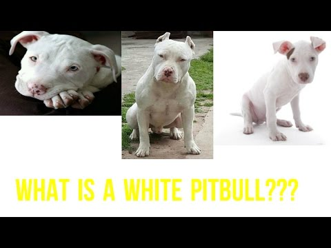What Is A White Pitbull???