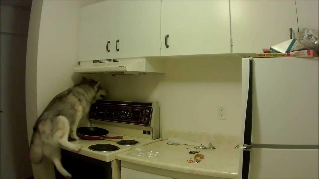 Husky gets on top of the fridge youtube husky gets on top of the fridge publicscrutiny Choice Image
