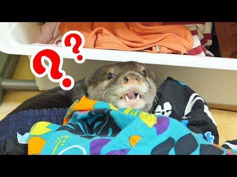 カワウソ(ビンゴ)を飼うと家がこうなる(This is how your house will became if you have an otter as pet)