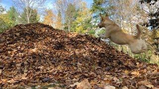 Stella's Best Leaf Pile Ball Retrievals