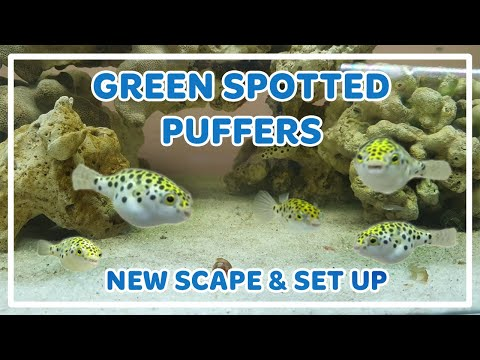 GREEN SPOTTED PUFFER FISH NEW TANK SCAPE