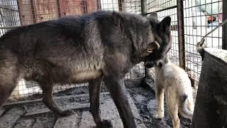 Канадский волк принял в стаю западно-сибирскую лайку