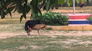 Dog breeding in the village - Разведение собак в деревне -Сладкая парочка