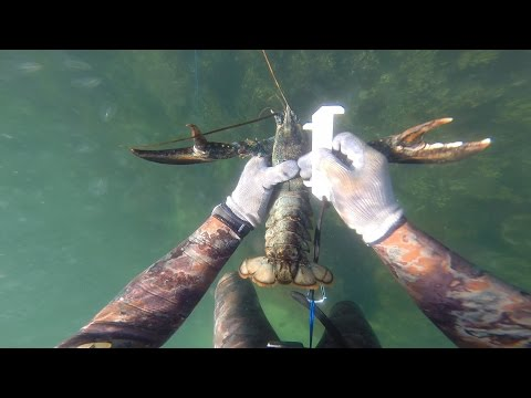 Freediving for Lobsters in New England, Massachusetts