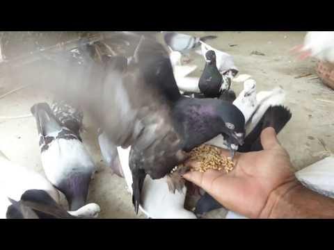 অস্থির কবুতর খামার   Best Pigeons Farm in Bangladesh