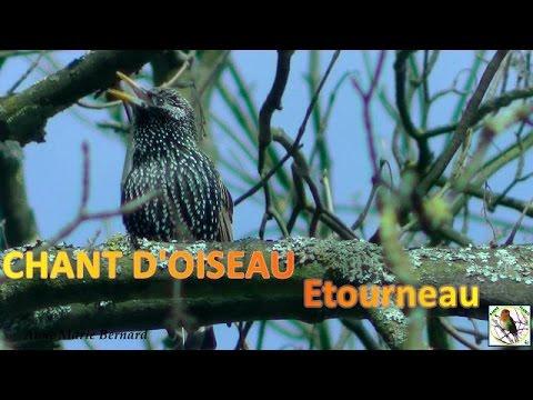 Chants d'oiseaux Etourneau son chant mélodieux - HD