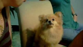 Pomeranian Does Funny Lion Dance!