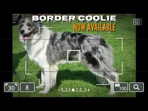 new:-blue-merle-border-coolie-puppies-in-india.-border-coolie-pups-for-sale.-blue-merle-coat-puppy