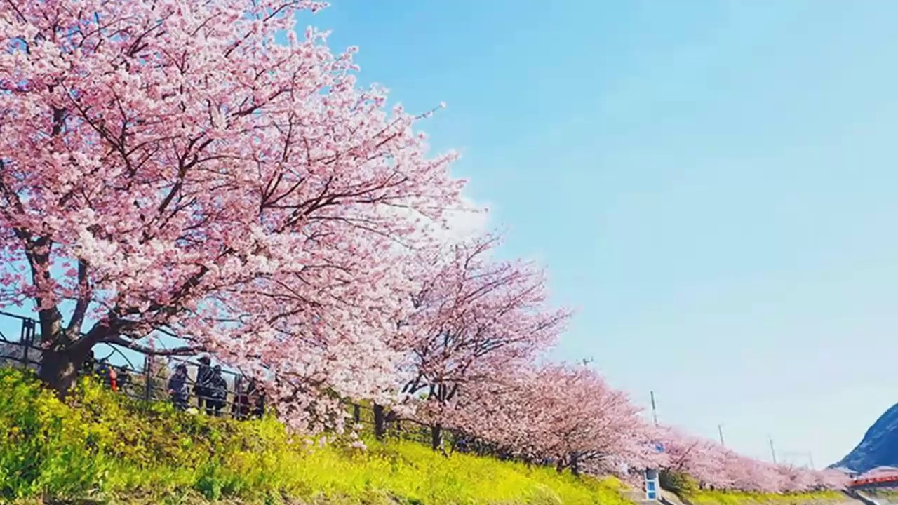 Cherry Blossom Festival Japan 2017