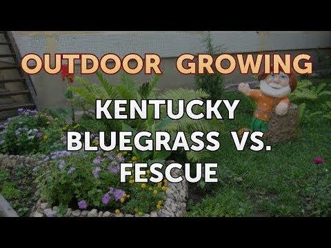 Kentucky Bluegrass Vs. Fescue