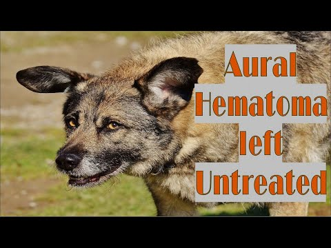 What Happens when a Dog's Aural Hematoma is left Untreated?