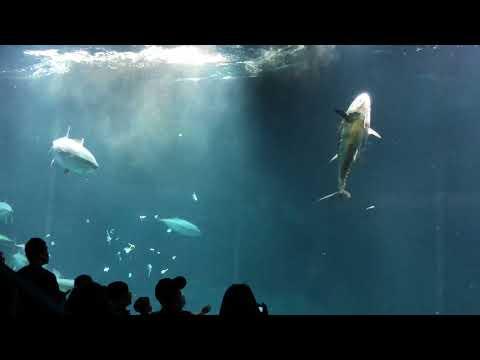 水族館のマグロが死亡!?餌付けショーの最中にガラスにぶつかった!The moment tuna collided.